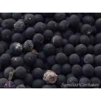 Foto de Semillas Salvia Real/de Aragon Salvia Officinalis