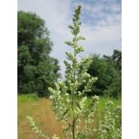Foto de Semillas de Ajenjo, Artemisia Absinthium. 10 Gramos