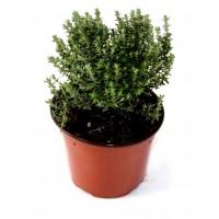 Foto de Pack de 3 Plantas Aromáticas de Tomillo - Thymus Vulgaris