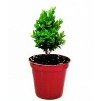 Foto de 2 Plantas. Buxo Enano, BOJ, Buxus Sempervirens Suffruticosa. en Maceta de 8 Cm.