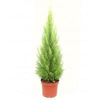 Foto de Planta Natural Cupressus Macrocarpa, Cipres Aroma Limón, 80 - 100 Cm