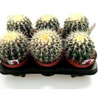 Foto de 1 Planta Echinocactus Grusonii, Asiento de Suegra, Maceta M13