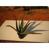 Foto de Planta de 12 a 18 Meses en Maceta