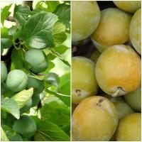 Foto de Semillas de Ciruelo Reine Claude, Prunus Domestica.  50 Gramos