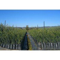 Foto de Viveros de Olivos Laconchuela, Plantas de Olivo en Bolsa y Turba