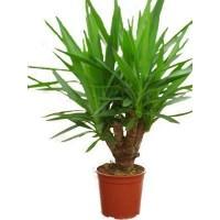 yuca elmila planta ornamental plantas de temporada