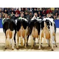 Foto de Vacas de Leche, Novillas, Exporta - Importación,1º Calidad