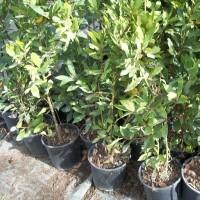 Planta de laurel en maceta de 11 cm arom ticas y for Cultivo de plantas aromaticas y especias