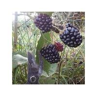 Foto de Planta de Mora Rubus Fruticosus Var. Apache. Raiz Desnuda