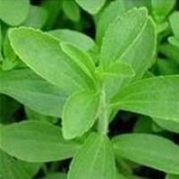 Planta de stevia rebaudiana en maceta de 13x13 cen folleto for Cultivo de plantas aromaticas y especias