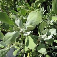 Foto de Salvia Oficinalis en Maceta de  11 Centímetros