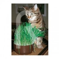 Foto de sobre Semillas Hierba para Gatos