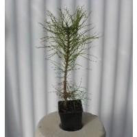Foto de Pinus Nigra