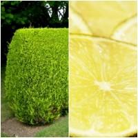 Foto de Planta Cupressus Macrocarpa. Ciprés Aroma Limón. 25 - 30 Cm. para Setos O Maceta