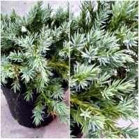 Foto de Planta de Juniperus Squamata BLUE Carpet. en Maceta de 1,5 Litros