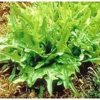 Foto de Lechuga Hoja de Roble Verde Baby Leaf. 50 Gr / 50.000 Semillas