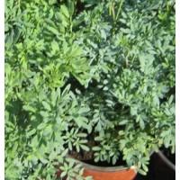 Planta de ruda maceta de 17 cm arom ticas y especias for Cultivo de plantas aromaticas y especias