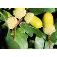 Foto de Plantón de Roble Albar (Quercus Petraea)