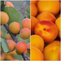 Foto de Semillas de Albaricoque, Prunus Armeniaca. 250 Gramos