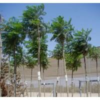 arboles ornamentales rboles arbustos y setos 25001