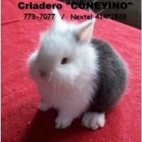 Foto de Conejos de Fantasía (Raza Enanos)