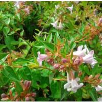 Foto de Planta de Abelia Flor Blanca. Abelia Grandiflora. Altura 20 - 30 Cm