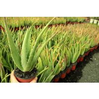 Foto de Plantas de ALOE VERA Medianas (20 a 40 Cnts)