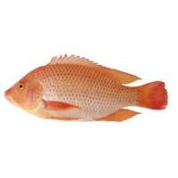 Peces para criadero pesca y marisco 3041536 agroterra for Peces para criadero