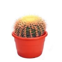 Foto de Planta Echinocactus Grusonii, Asiento de Suegra, Cactus Barril, Maceta M25