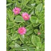 Esquejes de plantas ornamentales plantones e injertos for Todas las plantas ornamentales
