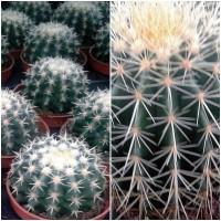 Foto de Planta de Cactus Echinocactus Grusonii. Asiento de Suegra. Bola 10 Cm
