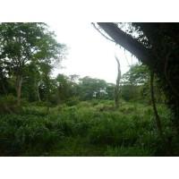 Foto de Semilla de Pastos Guineas, Mombaza O Tanzania, Brachiarias
