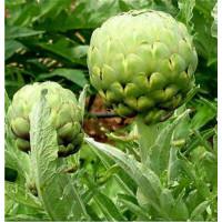 Foto de Alcachofa Gigante Imperial Star. 20 Semillas - Seeds. Ecologico