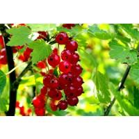 Foto de Planta Frutos Silvestres Grosello Rojo, Ribes. Altura 30 - 40 Cm.
