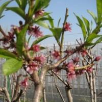 Foto de Frutal de Nectarina Big Top en Maceta de 25 Cm