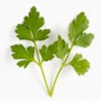 Bandeja 14 plantas de perejil liso arom ticas y especias for Cultivo de plantas aromaticas y especias
