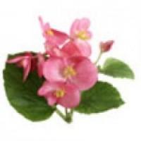 Planta de alegria de la casa en maceta de 10 cen plantas de temporada 3081359 agroterra - Planta alegria de la casa ...