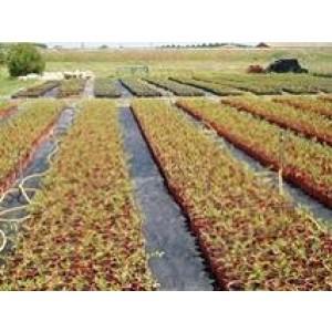 Foto de Plantas de Arandanos