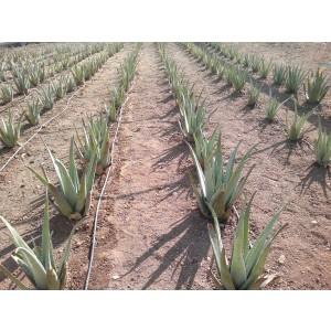 Foto de Hojas y Plantas de Aloe Vera