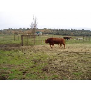 Foto de Vendo Toro Limousin