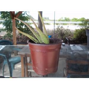 Foto de Planta de Aloe Vera en Maceta de 11 Cn.