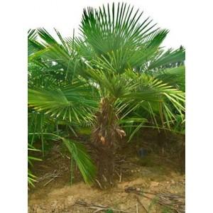 Foto de Chamaerops Excelsa (Trachycarpus Fortunei)