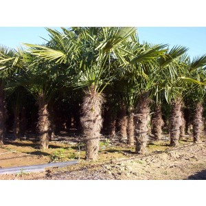 Foto de Palmeras, Chamaerops Excelsa (Trachycarpus Fortunei)