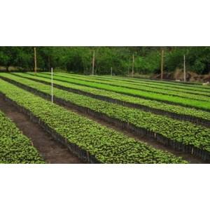 Foto de Venta de Arboles Forestales de Matarraton,melina Ocobo,caracoli,saman
