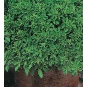 Foto de Planta de Albahaca