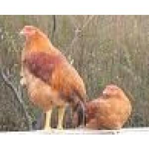 Foto de Huevos, Pollos y Gallos Reproductores de Raza de Mos