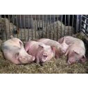 Foto de Seguro para Explotaciones de Ganado Porcino