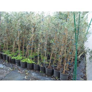Olivo picual en maceta de 20 cm olivar 3080516 agroterra - Olivo en maceta ...