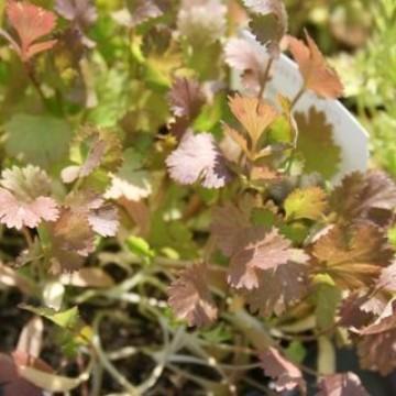 Planta cylandro en maceta de 10 cent metros arom ticas y for Cultivo de plantas aromaticas y especias