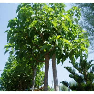 Arboles ornamentales rboles arbustos y setos 25001 for Arbustos ornamentales de exterior